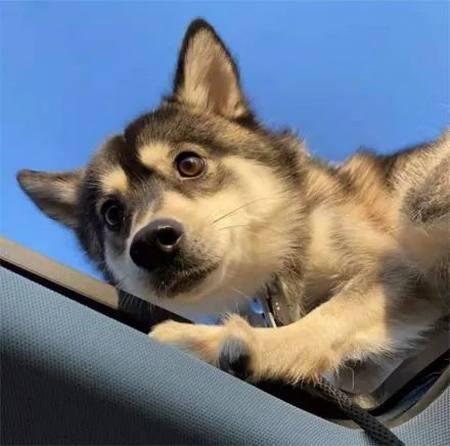 网友在车里睡觉,可没想到车顶居然跑上去一只二哈,哈哈! 实用小技巧 第4张